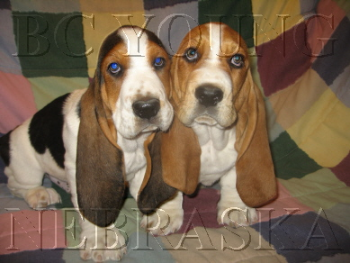 BC YOUNG BASSET HOUND PUPPIES