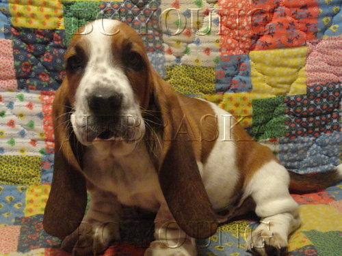 Basset Hound Colors